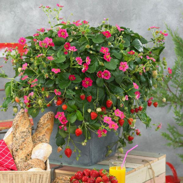 Земляника на балконе: сорта, выращивание, условия для хорошего урожая