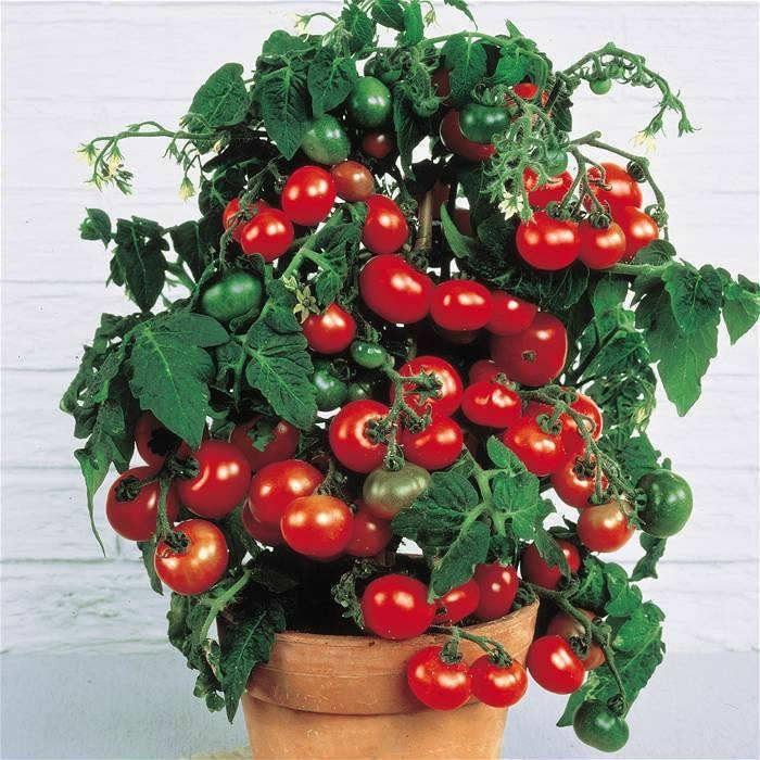 Помидоры на балконе: что надо знать для получения хорошего урожая