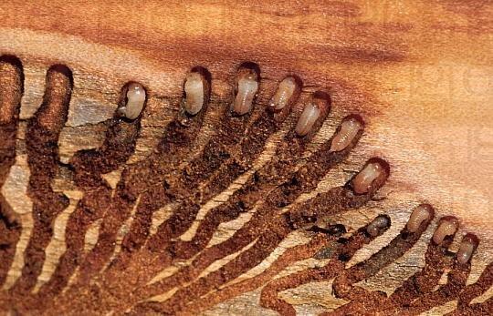 Жук короед в доме: борьба с упрямыми насекомыми агрессорами