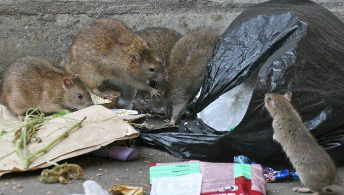 Как навсегда избавиться от крыс: обзор всевозможных способов войны