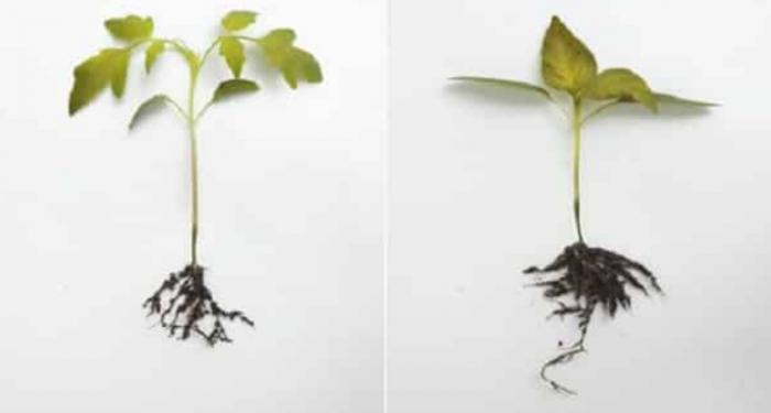 Как вырастить рассаду перца в домашних условиях здоровой, крепкой, идеальной