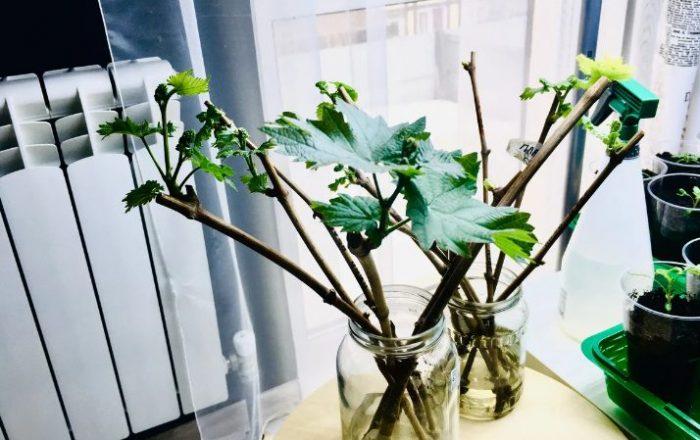 Как вырастить виноград из черенков в домашних условиях: советы и рекомендации