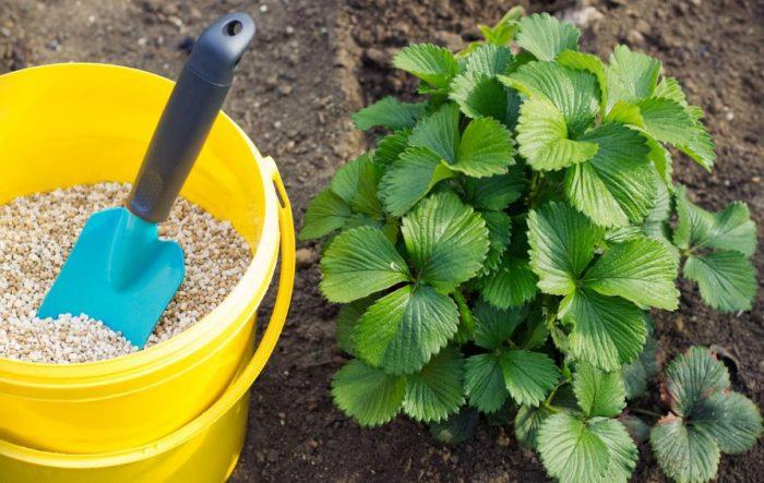 Как сажать землянику: посадка, выращивание и правильный уход за ягодой