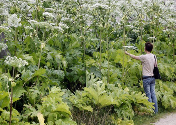 Как избавиться от борщевика на участке: способы борьбы с опасным сорняком