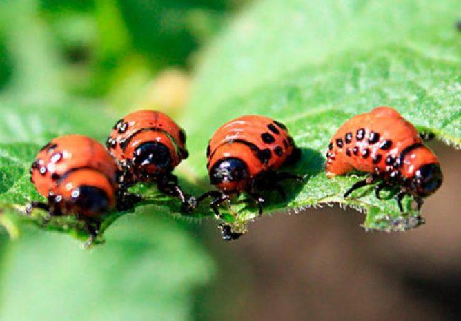 Как избавиться от колорадского жука: народные методы и помощь препаратов