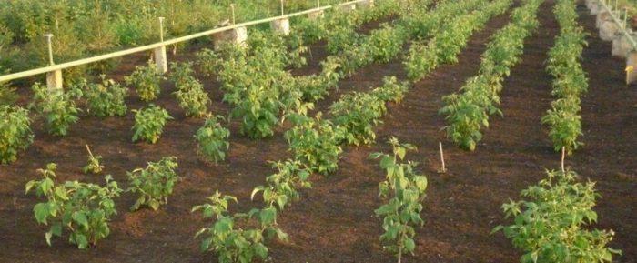 Как правильно сажать малину: правила посадки, этапы и уход за кустарником
