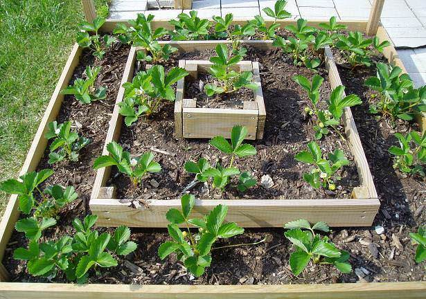 Как выращивать клубнику в открытом грунте: методы, особенности и секреты ухода