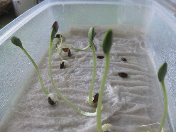 Как вырастить арбуз в теплице: правила посадки и особенности ухода