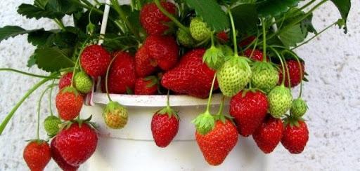 Как вырастить клубнику на подоконнике: особенности, ягодные секреты и советы
