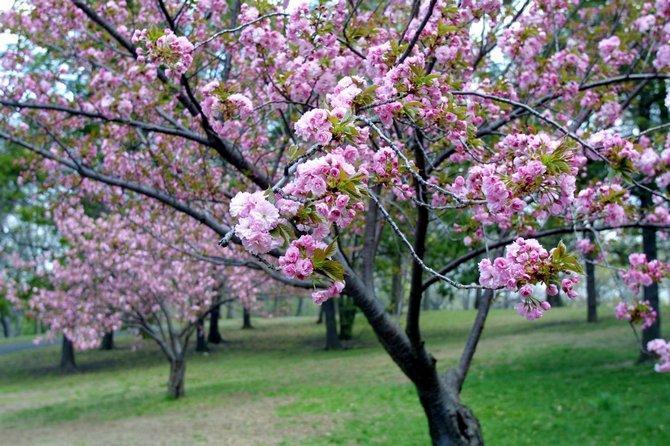 Как выращивать вишню: правила посадки деревьев и корректный уход за ними