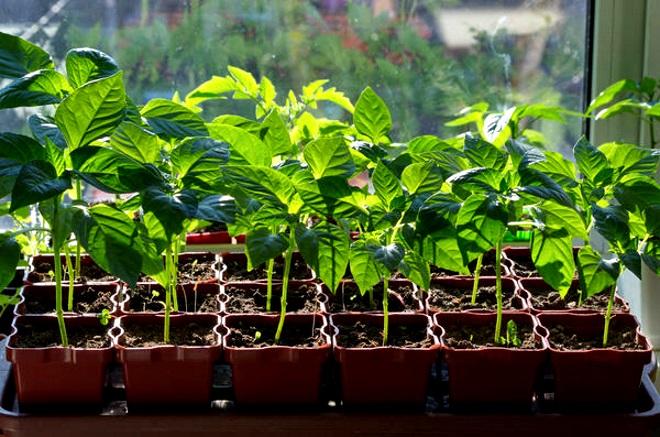 Почему у перца скручиваются листья: разные причины и способы их устранения