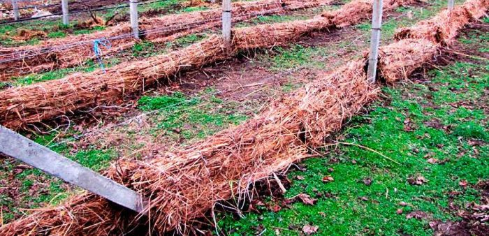 Как правильно укрыть виноград на зиму: подготовка и 11 способов защиты лозы
